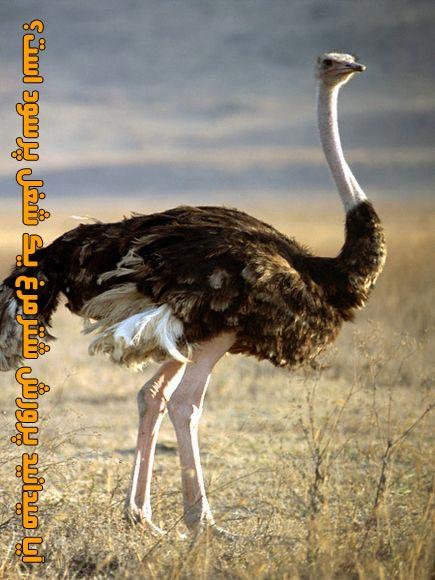 ostrich (3)