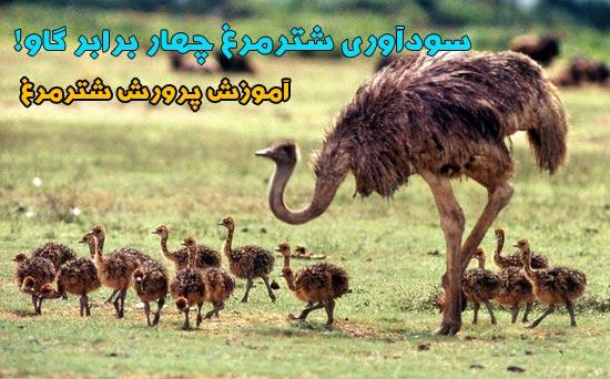 ostrich (4)