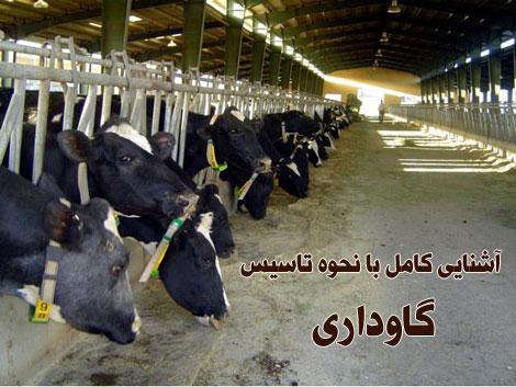 cow (4)