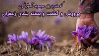 Saffran-12