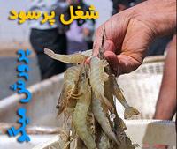 shrimp2-31